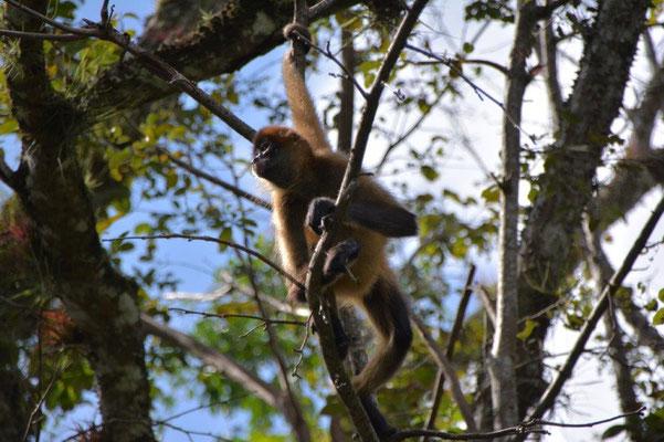 Jede Menge Affen in den Bäumen