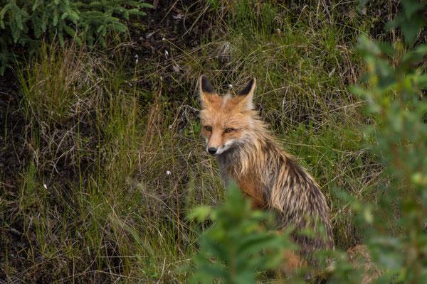 Fuchs am Strassenrand