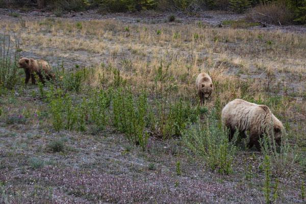 Grizzly Bären
