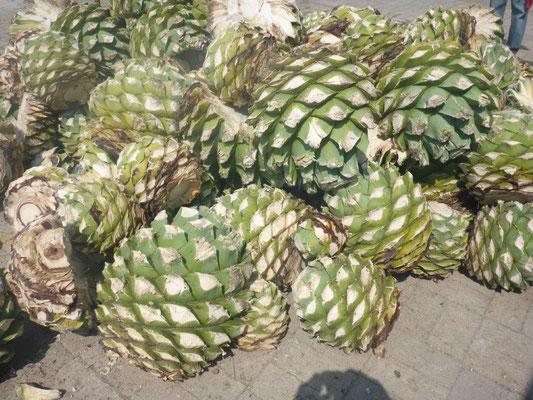 Agave als Rohprodukt zur Herstellung von Mezcal