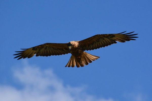 Hawk auf Beutesuche