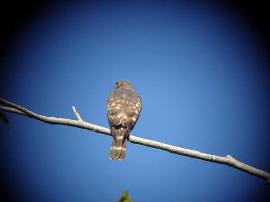 Habicht im Manuel Antonio Nationalpark mit dem Super Tele fotografiert