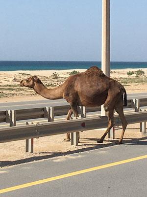 Kamel auf der Autobahn / Camel on the highway