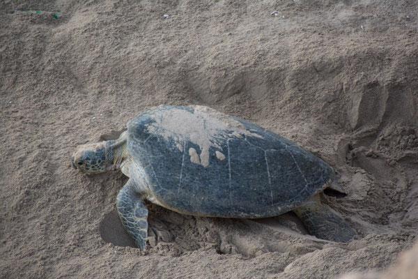 Schildkröte legt Eier ab / Turtle lays eggs