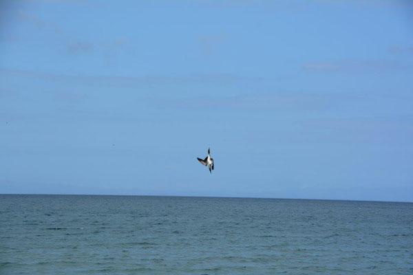 Kamikaze Flieger beim Fischfang