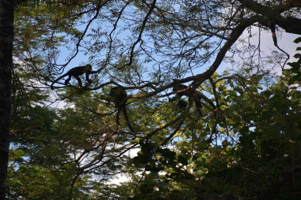 Die Affen in den Bäumen
