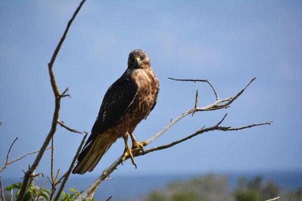 Hawk (Bussard)