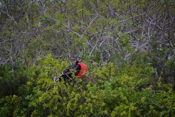 Frigate bird in the mating season