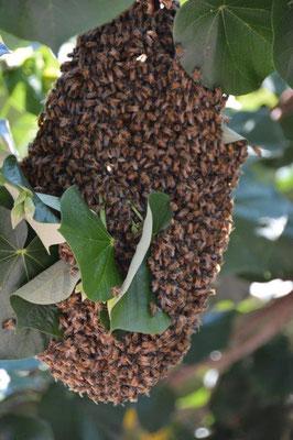 Bienenstock auf Wanderschaft bei Charly