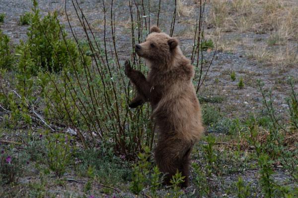 Grizzly Bär