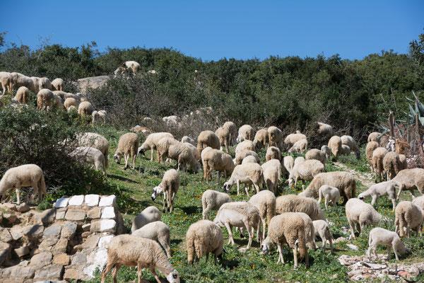 Schafe gibt es überall