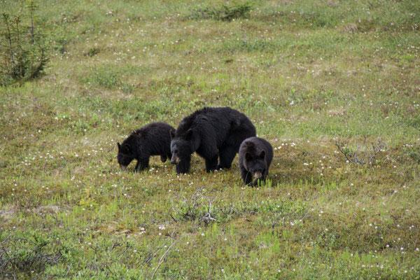 Ein paar Schwarzbären sind auch unterwegs