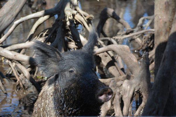 Swamp Tour - angefüttertes Wildschwein