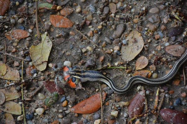 Schlange isst Frosch