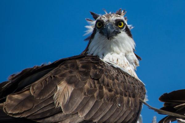 Adler bewacht sein Nest