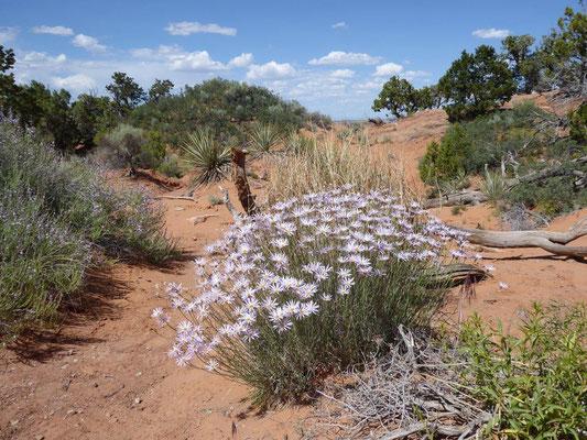 Blühende Blumen mitten in der Wüste
