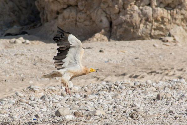 Seeadler / Eagle