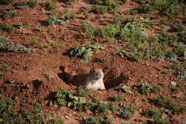 Caprock Canyon, Prairie Dog