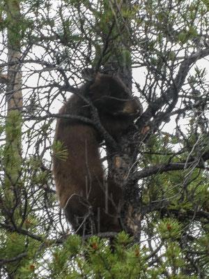 Bär am Strassenrand - Der Kleine muss zur Sicherheit auf den Baum