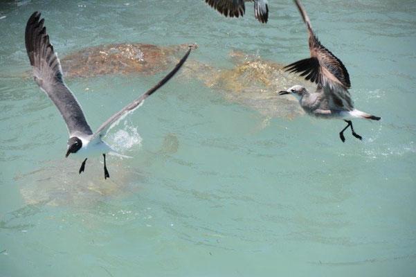Isla Mujeres - Möwen attackieren die Schildkröten