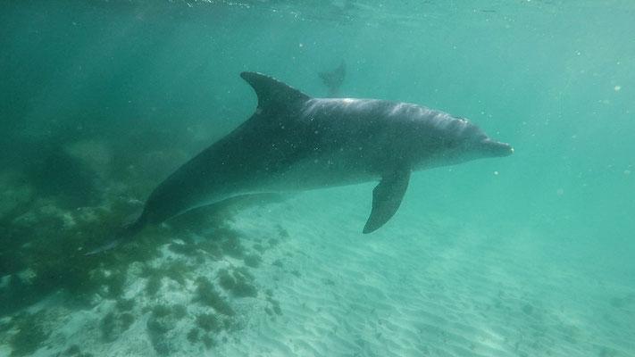 Schnorcheln mit Delphinen / Snorkeling with dolphins