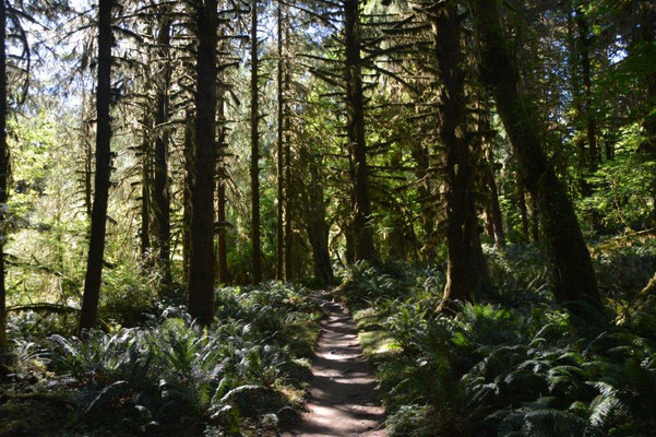 Regenwald im Olympic NP am Hoh River