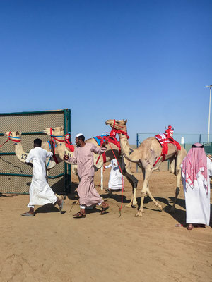 Kamelrennen - Vorbereitung