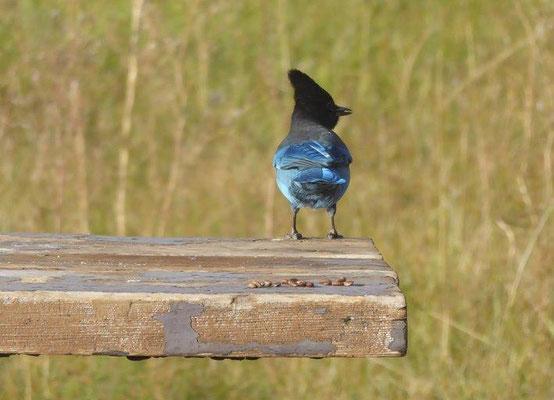 Schöner blauer Vogel