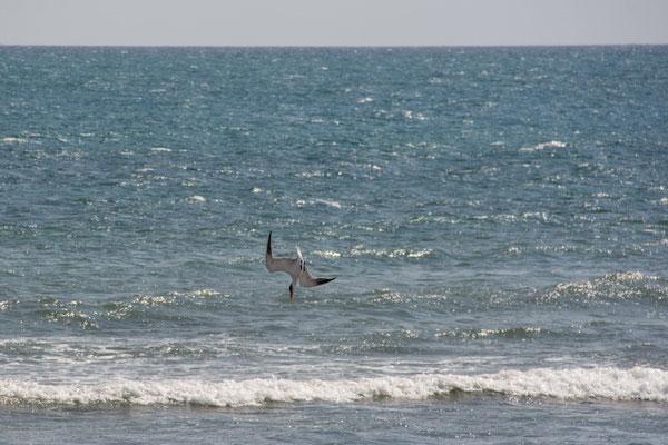 Möwe beim Fischfang / Gull fishing