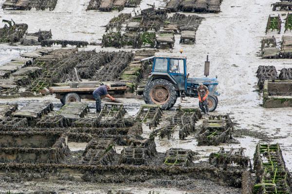 Austern in Cancale
