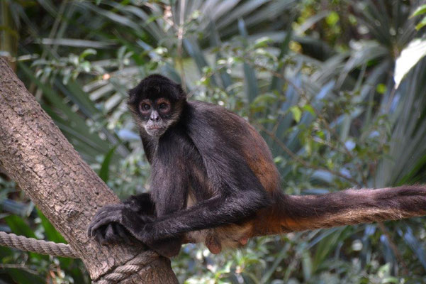 Belize Zoo, Spider Monkey