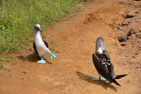 Blue-footed Boobies, our favorites