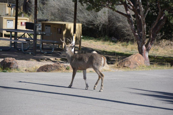 Deer on the campground in Big Bend NP