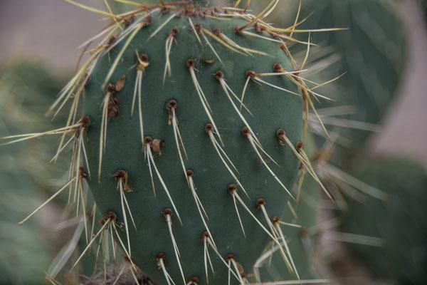 stachliger Kaktus