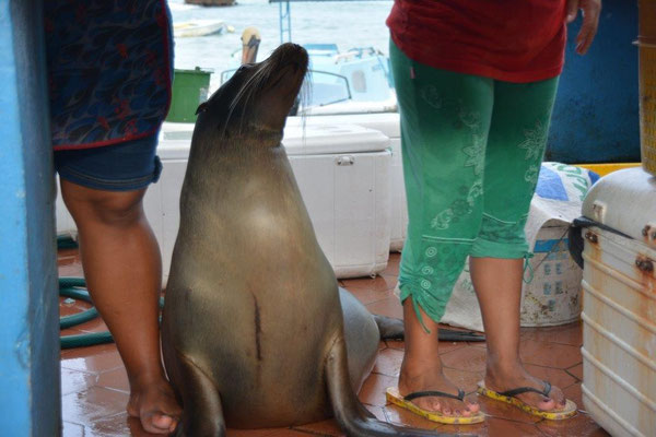 sea lion waits for food at the fish market