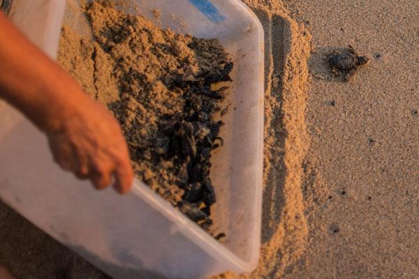 Junge Meeresschildkröten werden ins Wasser gebracht