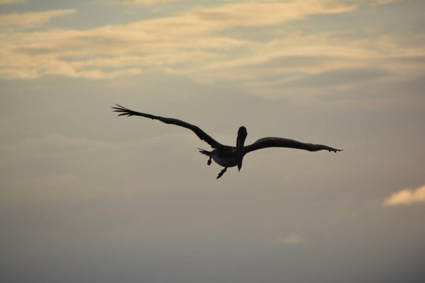 Pelikan im Abendlicht