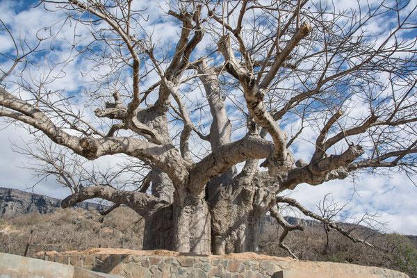 400 Jahre alter afrikanischer Boab Baum