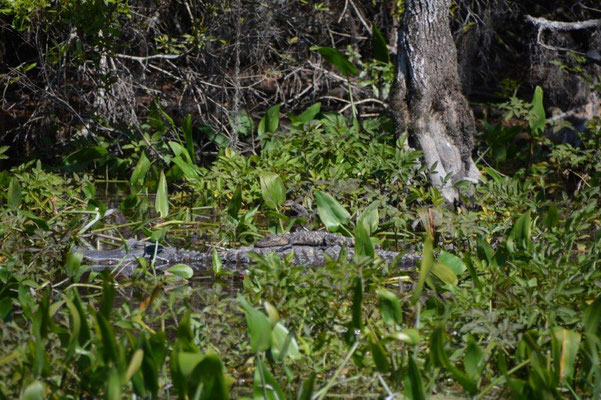 Boat tour at the Wakula State Park - Alligator with baby