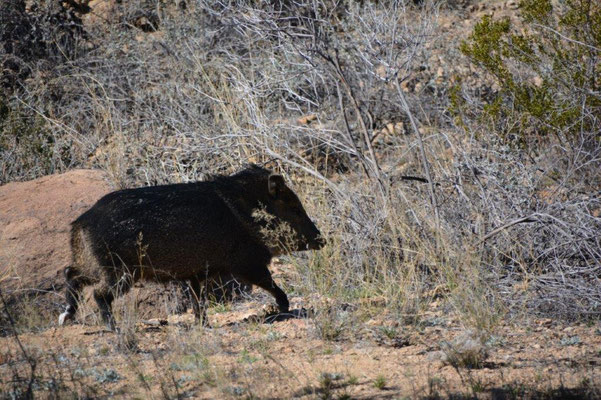 Big Bend National Park - Javelina