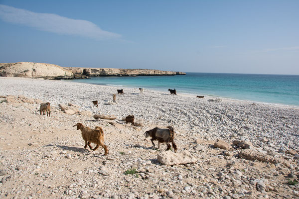 Ziegen am Strand / Goates on the beach