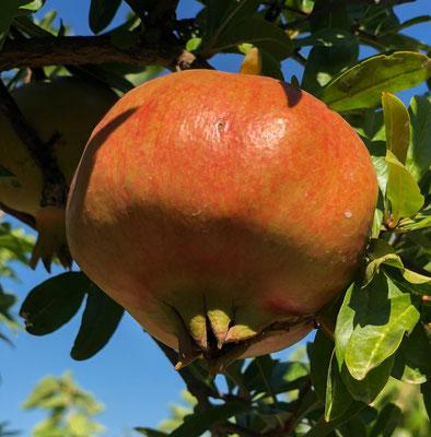 Granatapfel am Bacina See
