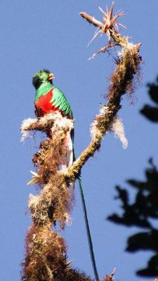 Der Göttervogel Quetzal