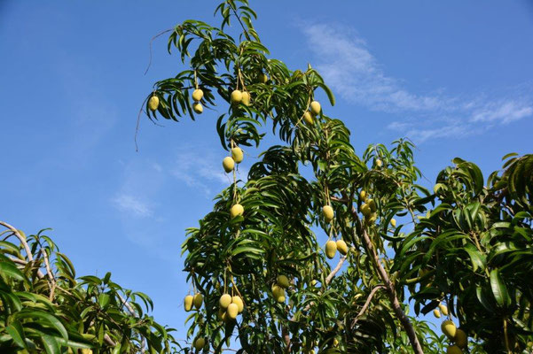 Time for Mangos