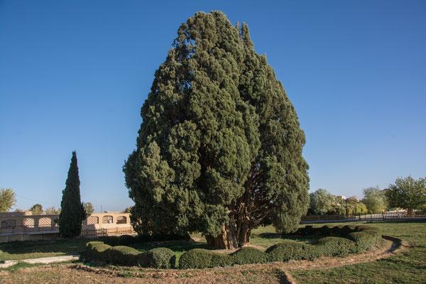 4000 Jahre alte Zypresse in Abarkuh