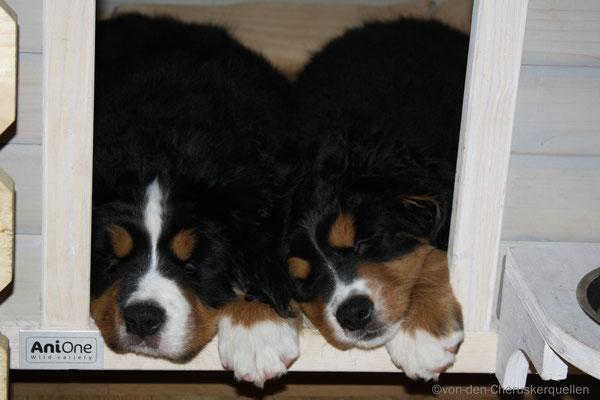 Hier hat Frauchen mich und Nucki beim schlafen fotografiert, Privatsphäre gibt es hier anscheinend nicht! ;-)
