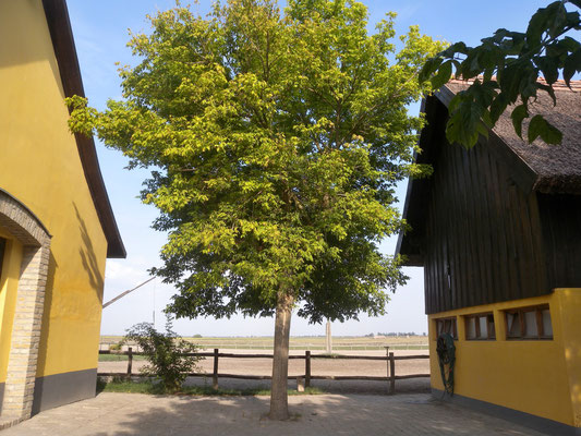 099 - Bäume in der Puszta