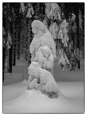 Winter im Harz, verschneite kleine Fichten