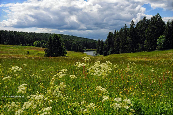 wenn die Wiesen blühen ... am Auerhahn Teich