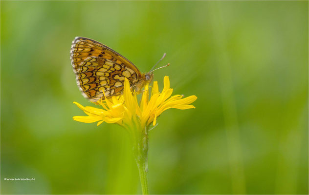 Flockenblumen Scheckenfalter